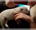 Small Photo #19 Labrador Retriever Puppy For Sale in NEW LENOX, IL, USA