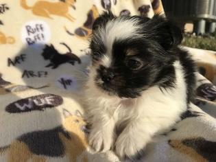 Mi-Ki Puppy for sale in GRAND ISLAND, NE, USA