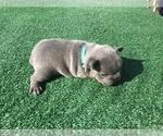 Small #34 French Bulldog