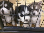 Siberian Husky Puppy For Sale in MARION, SD, USA