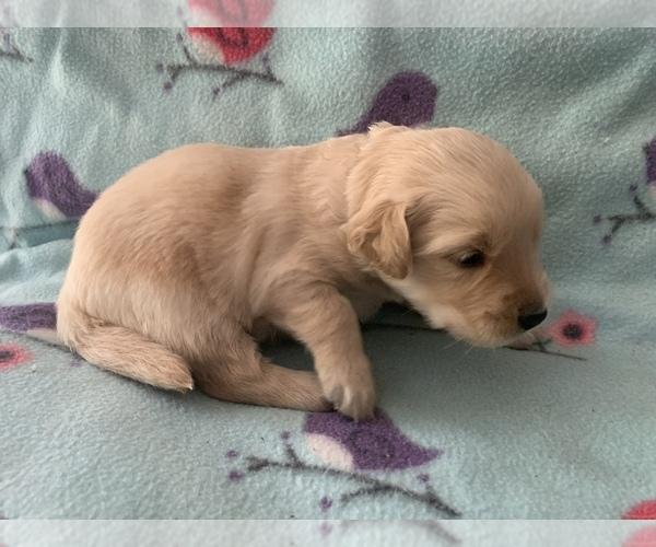 Medium Photo #4 Golden Retriever Puppy For Sale in LAPEER, MI, USA