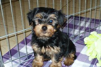 Yorkshire Terrier Puppy For Sale in TUCSON, AZ