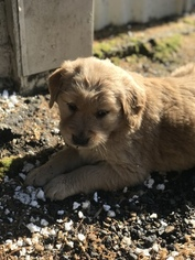 Golden Retriever Puppy For Sale in BATTLE GROUND, WA, USA