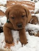 Labrador Retriever Puppy For Sale near 47470, Williams, IN, USA