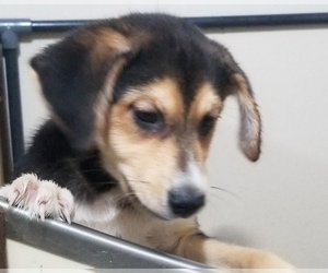 Beagle-Pomsky Mix Puppy for Sale in BELLE CENTER, Ohio USA