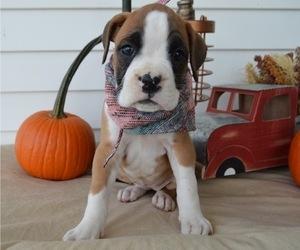 Boxer Dog for Adoption in HONEY BROOK, Pennsylvania USA