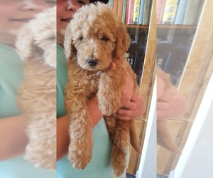 Labradoodle Puppy for Sale in REDMOND, Oregon USA