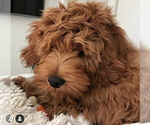 Double Doodle Puppy for Sale in BALDWIN HILLS, California USA