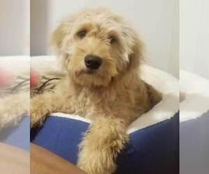 Goldendoodle Puppy for sale in BOSTON, MA, USA