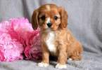 Cavalier King Charles Spaniel Puppy For Sale in MOUNT JOY, Pennsylvania,