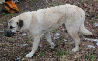 Sissy - Anatolian Shepherd / Black Labrador Retriever / Mixed Dog For Adoption