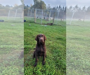 Labrador Retriever Puppy for Sale in JAY, New York USA