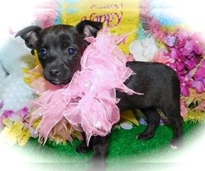 Minnie Jack Puppy for Sale in HAMMOND, Indiana USA