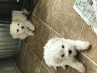 Maltipoo Puppy For Sale in JASPER, GA, USA