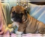 Small #1 English Bulldog