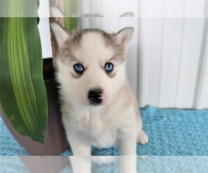 Siberian Husky Puppy for sale in THREE RIVERS, MI, USA
