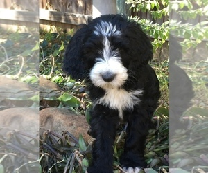Sheepadoodle Puppy for Sale in AUSTIN, Texas USA