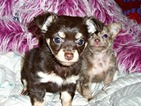 CKC Long Haired Chihuahua Puppy Rosie
