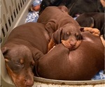 Small #7 Doberman Pinscher