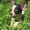 Chihuahua Puppy For Sale in HOUSTON, TX,