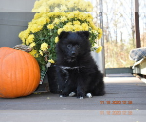 Pomeranian Puppy for sale in DINWIDDIE, VA, USA