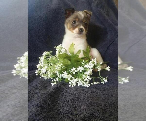 Medium Photo #1 Jack-A-Ranian Puppy For Sale in FREDERICKSBG, OH, USA