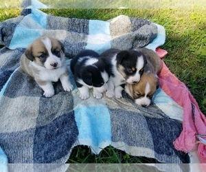 Pembroke Welsh Corgi Puppy for sale in WESTMORELAND, TN, USA