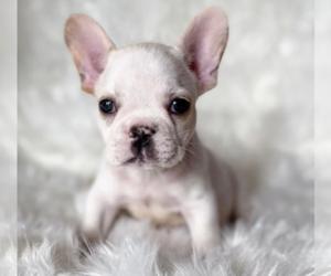 French Bulldog Puppy for sale in CAMBRIDGE, MA, USA