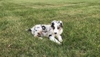 Australian Shepherd Puppy For Sale in CHENOA, IL, USA