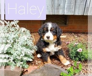 Bernese Mountain Dog Puppy for sale in FARMVILLE, VA, USA