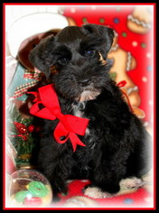 Schnauzer (Miniature) Puppy For Sale in FAYETTEVILLE, AR