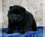 Puppy 11 Chow Chow