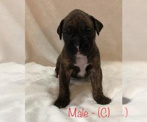 Boxer Puppy for sale in SAINT JOSEPH, MO, USA