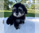 Small #9 Havanese-Poodle (Toy) Mix