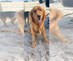 Father of the Golden Retriever puppies born on 05/02/2019
