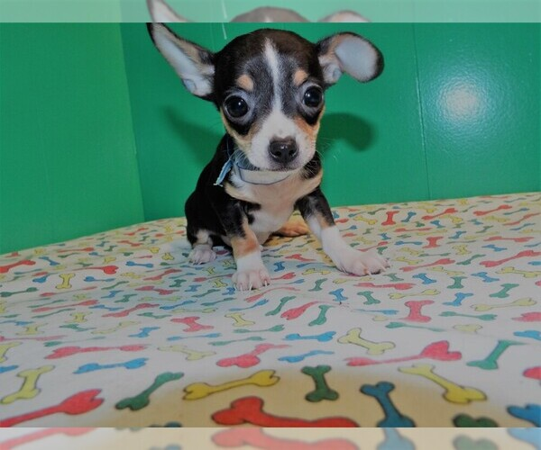 Medium Photo #6 Chihuahua Puppy For Sale in PATERSON, NJ, USA