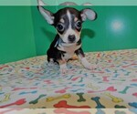 Small Photo #6 Chihuahua Puppy For Sale in PATERSON, NJ, USA
