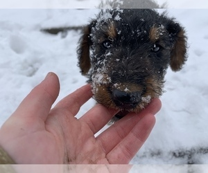Airedale Terrier Puppy for sale in MUNITH, MI, USA