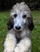 Silver Sable Poodle Puppy AKC