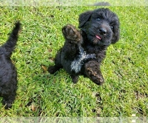 Poodle (Standard)-Wirehaired Pointing Griffon Mix Puppy for Sale in CANYON LAKE, Texas USA