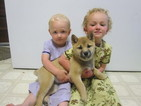 Shiba Inu Puppy For Sale in LEOLA, PA, USA