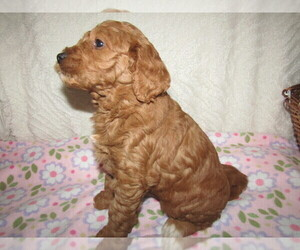 Goldendoodle Dog for Adoption in CHICAGO, Illinois USA