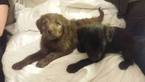 Labradoodle Puppy For Sale in VERGENNES, IL