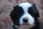 Miniature Australian Shepherd Puppy For Sale in FAIRFIELD, CT
