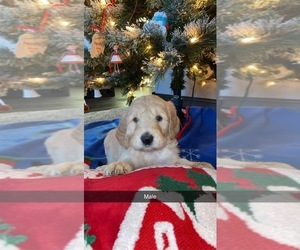 Labradoodle-Poodle (Standard) Mix Puppy for sale in CANTON, SD, USA