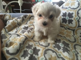 Maltese Puppy for sale in CELINA, TN, USA