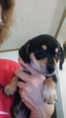 Chiweenie Puppy For Sale in PITKIN, LA, USA
