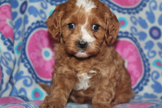 Cavapoo Puppy For Sale in FRESNO, OH, USA