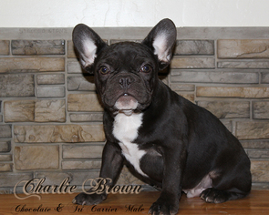 French Bulldog Puppy For Sale in CHANDLER, AZ, USA