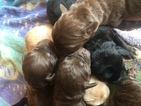 Labradoodle Puppy For Sale in WINSTON SALEM, NC